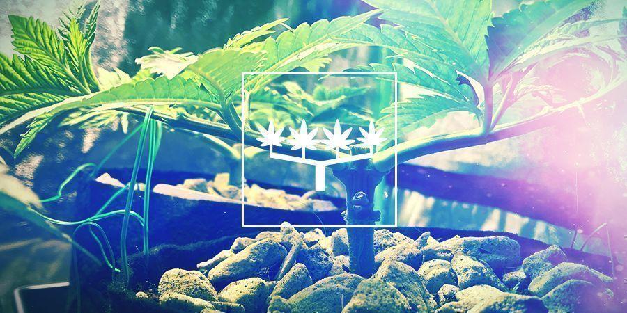 Main-lining Para Cultivar Cannabis: Todo Lo Que Hay Que Saber