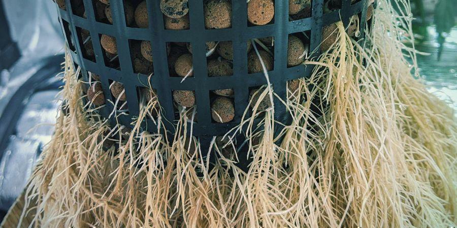 Cómo Podar Las Raíces En Cultivos Hidropónicos