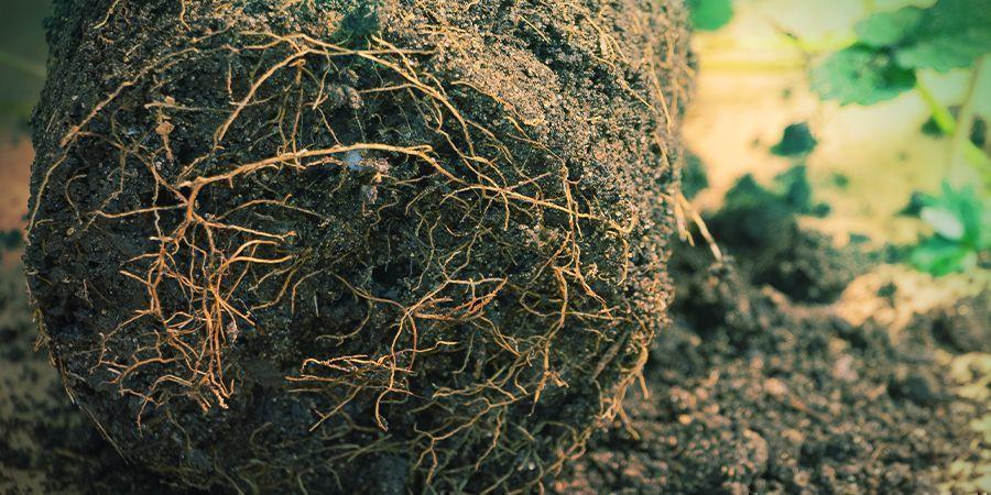 Cómo Podar Las Raíces En Cultivos En Tierra