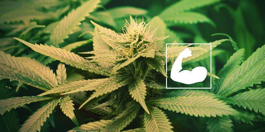 Ventajas De Podar Las Raíces De La Marihuana