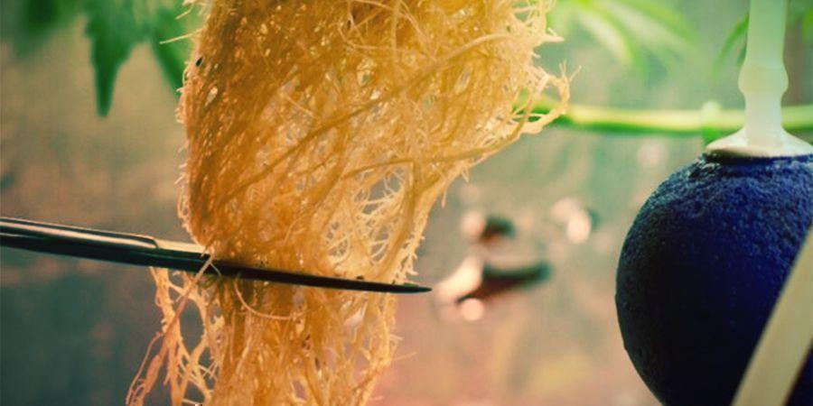 ¿Qué Es La Poda De Raíces Del Cannabis?