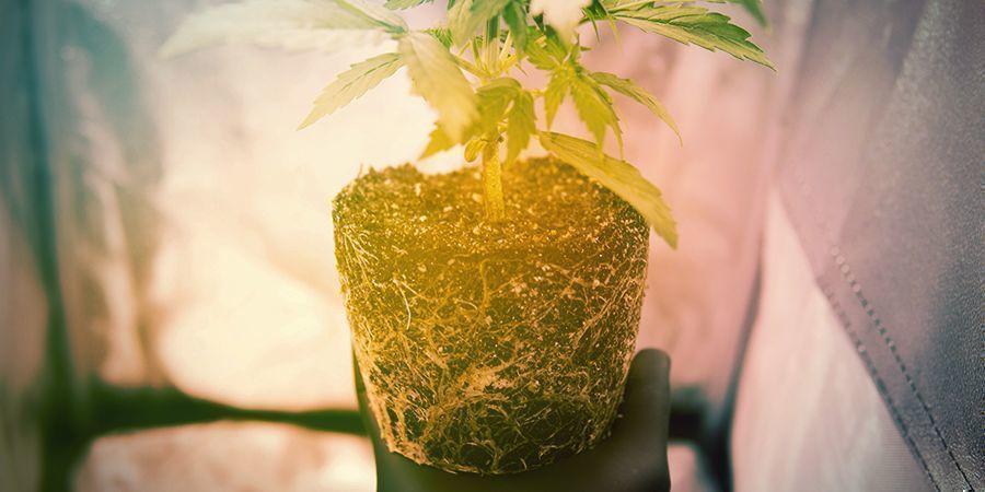 Cuándo Podar Manualmente Las Raíces Del Cannabis