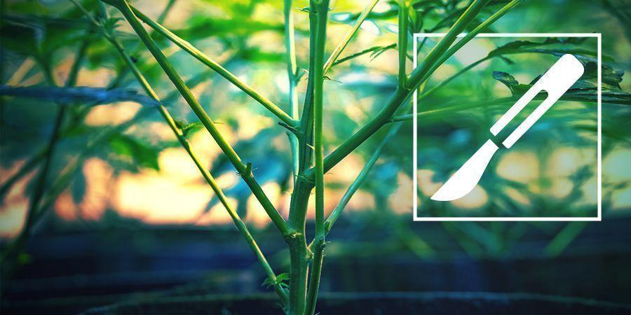 Guía Para El Clivaje De Tallos De Cannabis