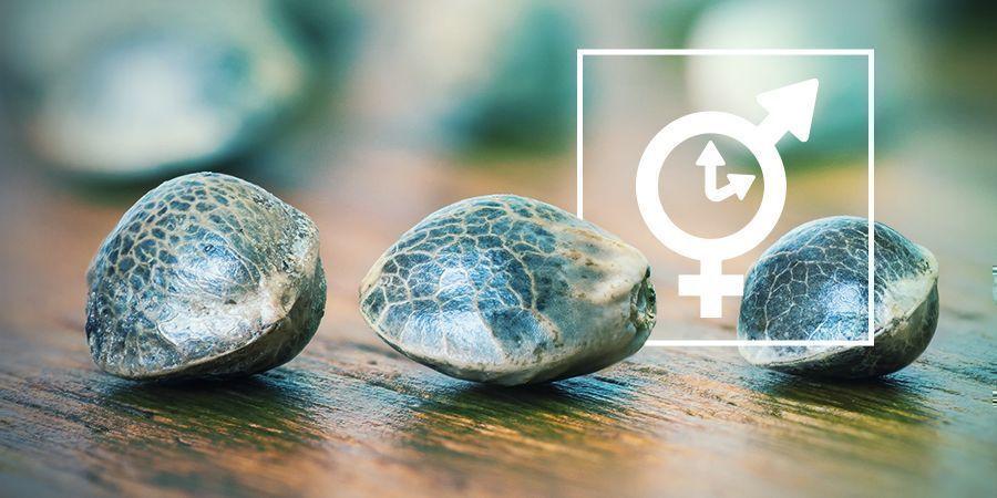 Semillas Feminizadas, Regulares Y Autoflorecientes