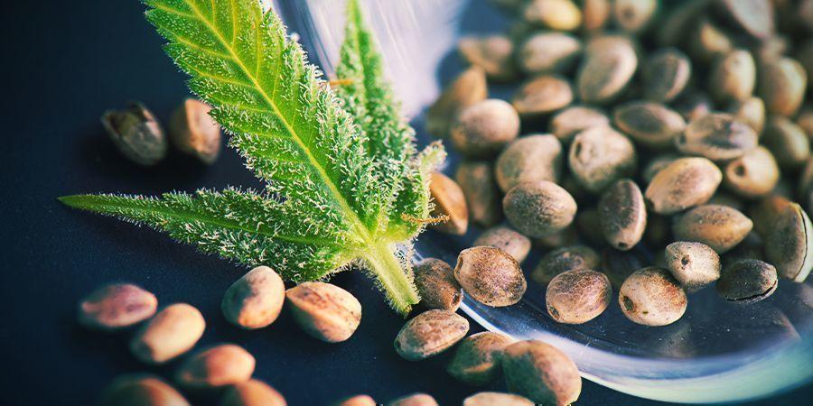 Semillas De Cannabis Regulares