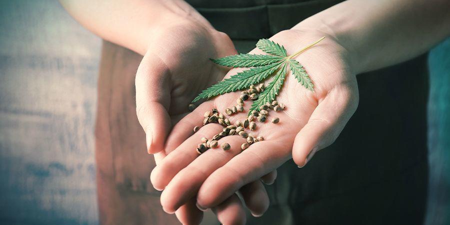 Semillas De Cannabis Feminizadas