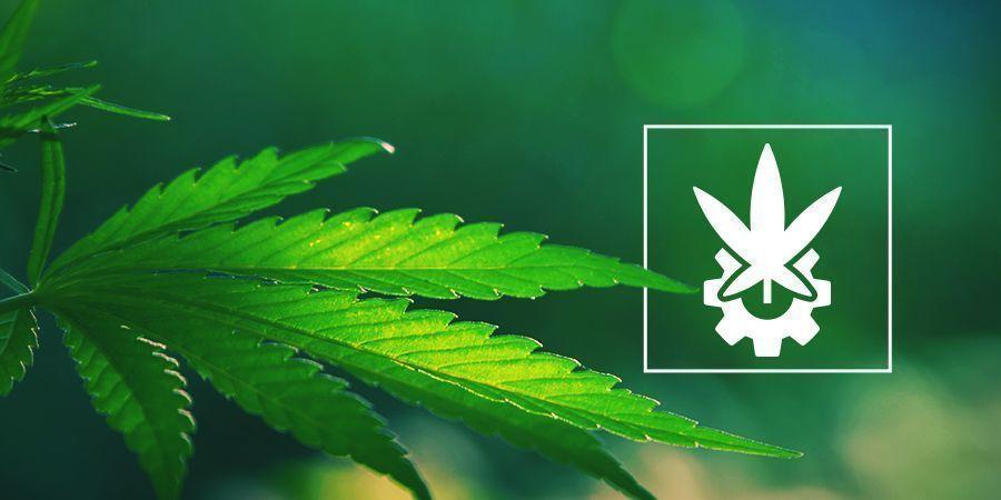 Análisis Detallado Del Cannabis Ruderalis Y Las Autoflorecientes
