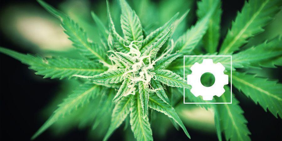 Características Del Cannabis Ruderalis