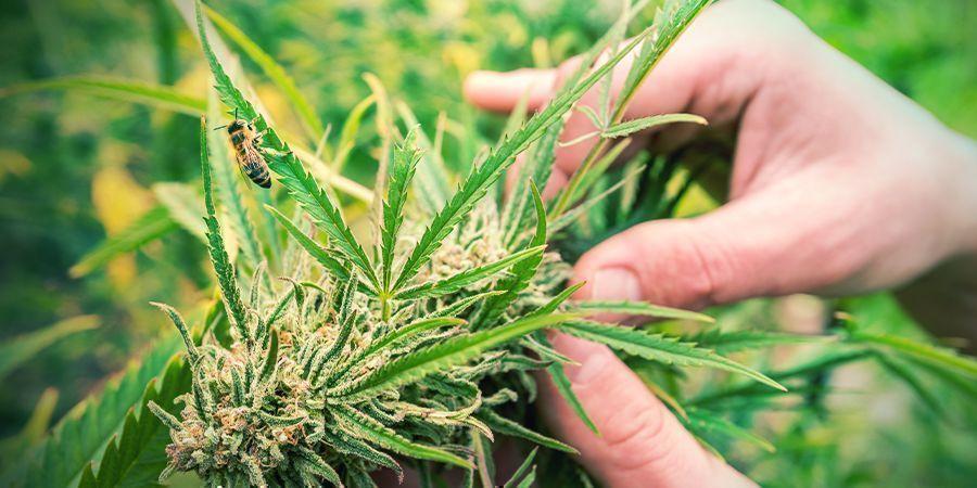 Como Identificar Una Planta De Cannabis Sativa