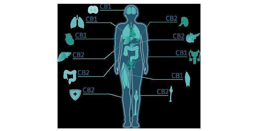CBD Molécula
