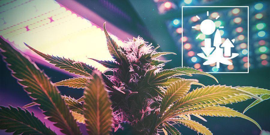 Marihuana Y Fotosíntesis