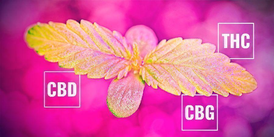 Cómo Podría Afectar La Tasa Fotosintética Al Contenido Cannabinoide