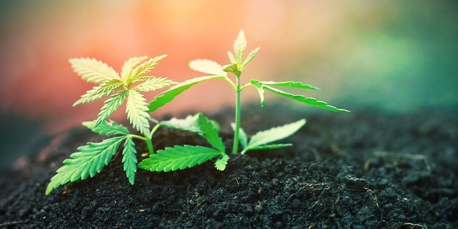 Cannabis: Etapa De Plantón