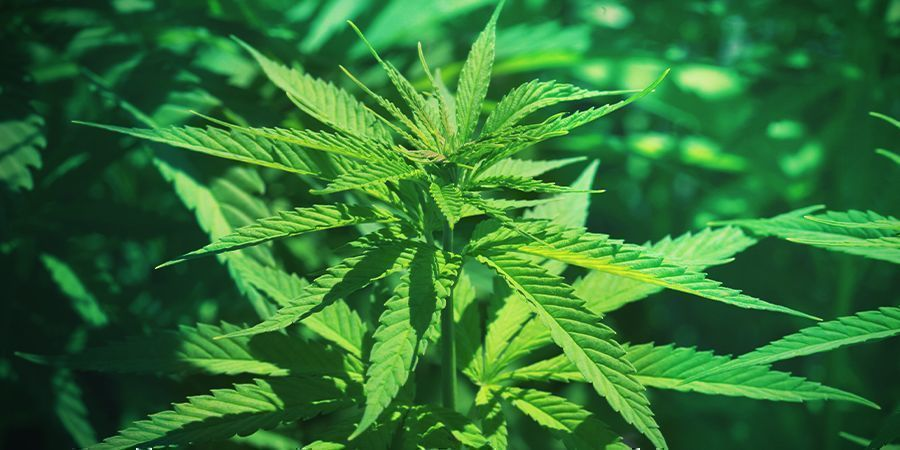 Cannabis: Etapa De Crecimiento Vegetativo