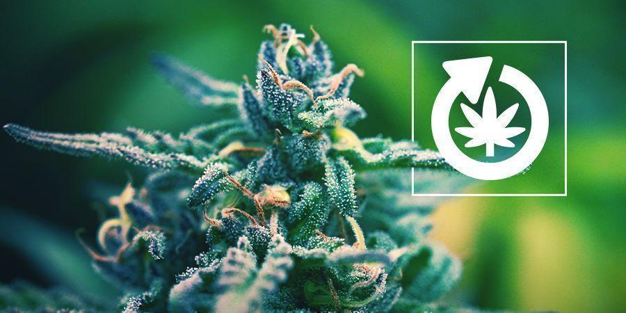Ciclo De Vida De La Planta De Cannabis