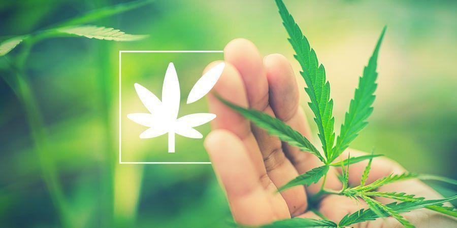 Todo Sobre La Anatomía De La Planta De Cannabis