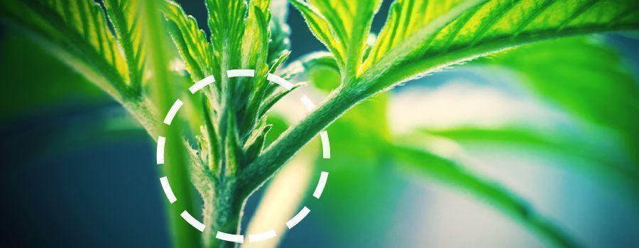 MACHO Y HEMBRA cannabis
