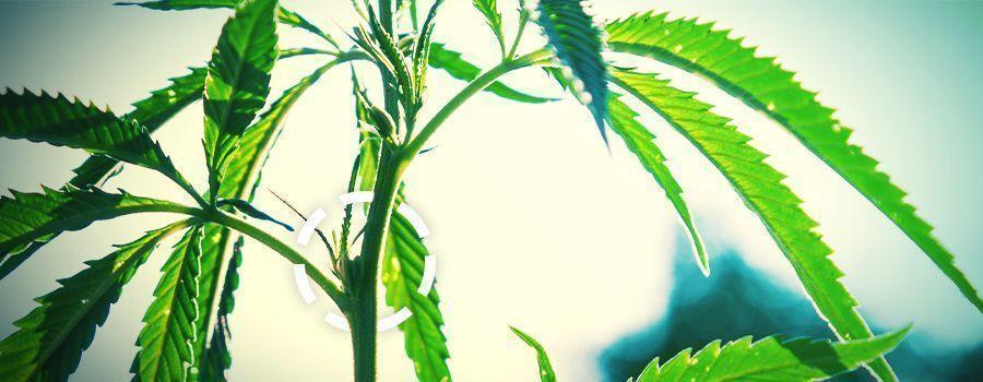 NUDOS cannabis