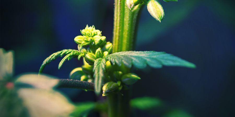 Plantas De Cannabis Macho