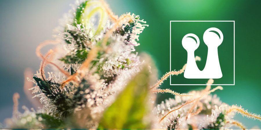 Tricomas De Cannabis