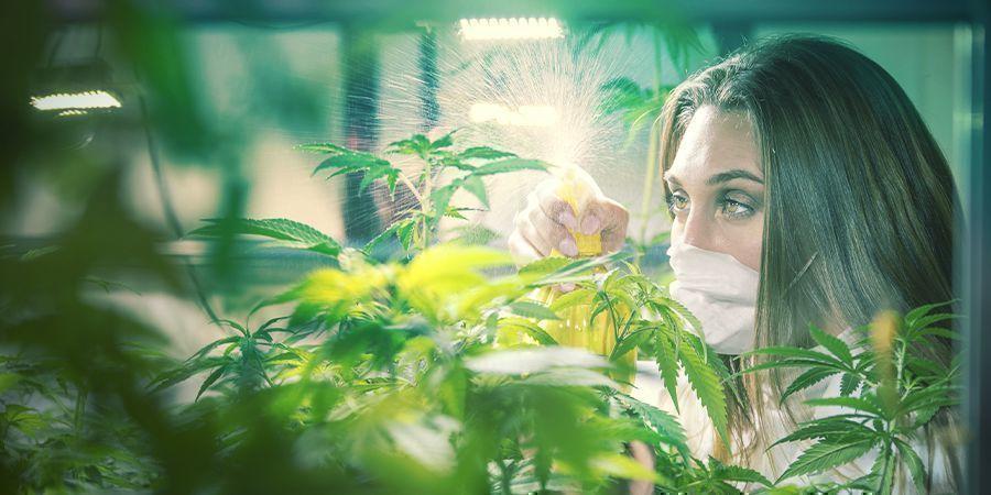 Cannabis Criadores Profesionales