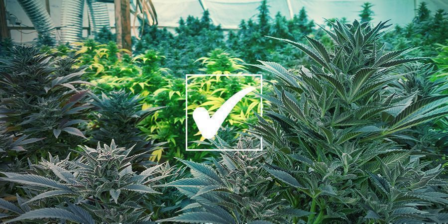 Semillas De Marihuana Regulares: Ventajas