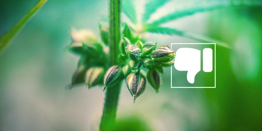 ¿Por qué (probablemente) no quieres tener plantas de marihuana macho?