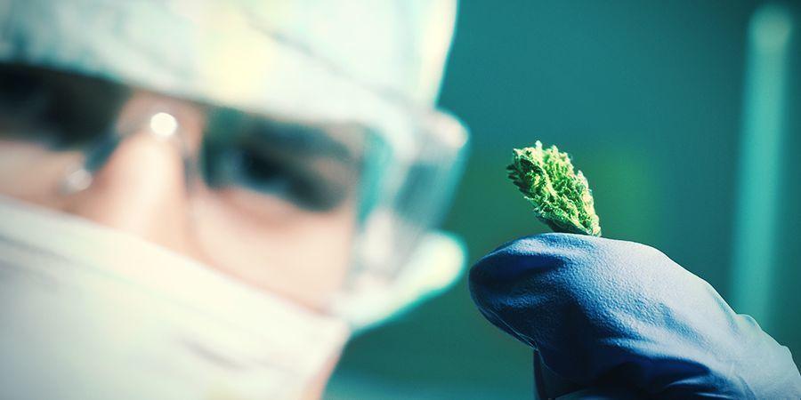 ¿Cómo Se Producen Las Semillas De Cannabis Autoflorecientes?
