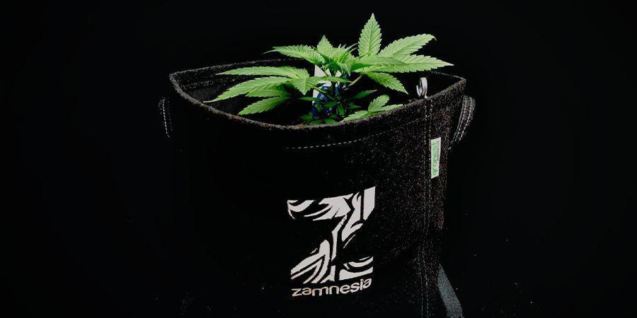 Cosas A Considerar Al Cultivar Marihuana Con Semillas Autoflorecientes