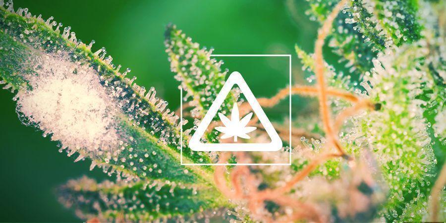Problemas Comunes Del Cannabis