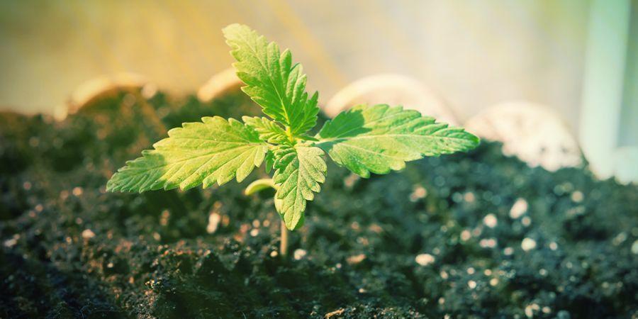 ¿Es Posible Cultivar Autoflorecientes Sin Abono?