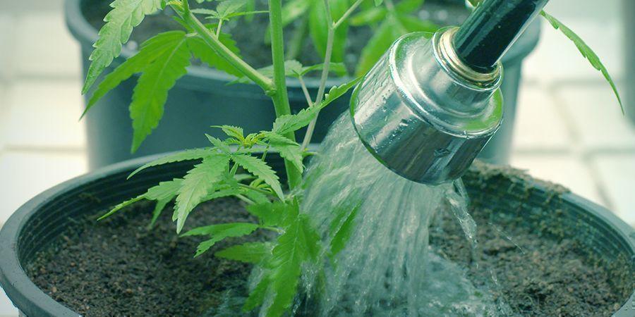 Cómo Y Cuándo Hacer Un Lavado De Raíces A Tus Plantas De Cannabis