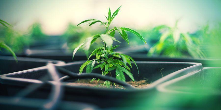 Macetas De Plástico Cannabis