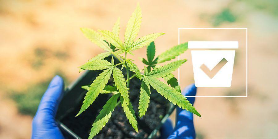 Maceta Más Adecuada Plantas De Marihuana