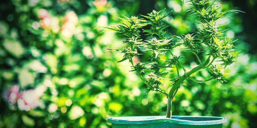 Consejos Para Cultivar Cannabis En Macetas