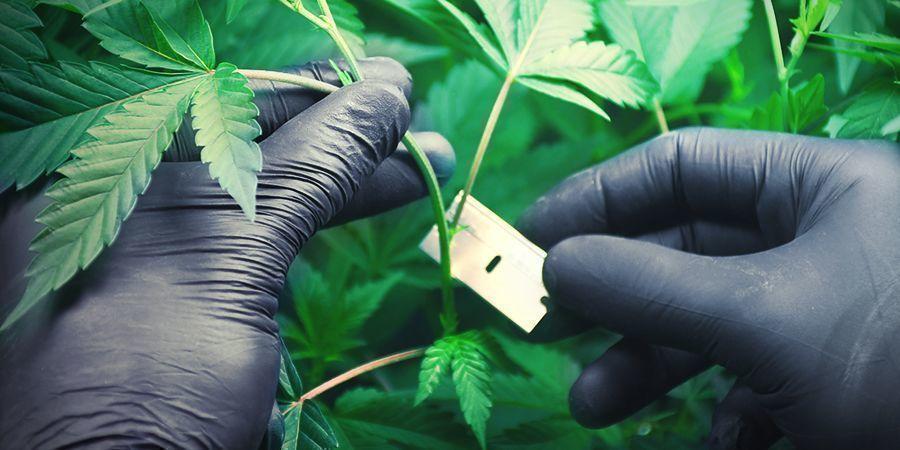 Cultivar Marihuana En Lana De Roca: Enraizamiento De Esquejes