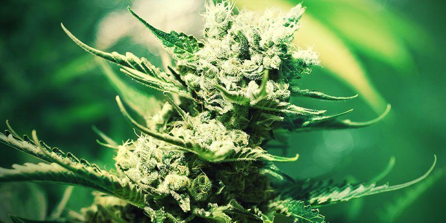 Cultivar Marihuana En Lana De Roca: FLORACIÓN