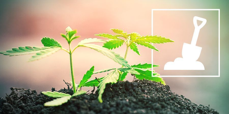 El Cultivo De Cannabis En Suelo