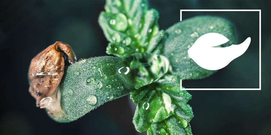 Germinar semillas de cánnabis