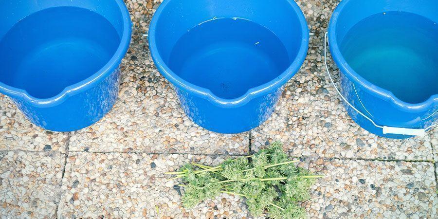 Cómo Lavar Tus Cogollos De Marihuana