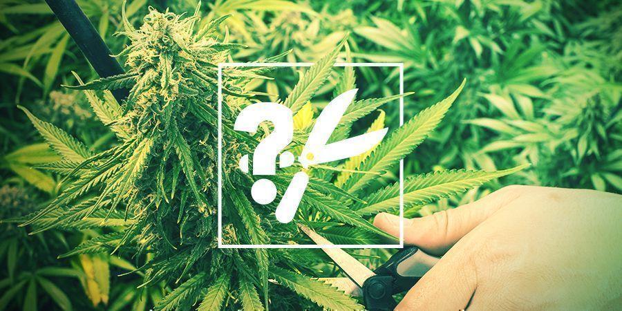 Cuándo Y Cómo Cosechar Tu Marihuana