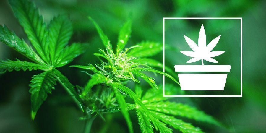 La Fase De Crecimiento Vegetativo En El Cultivo De Cannabis