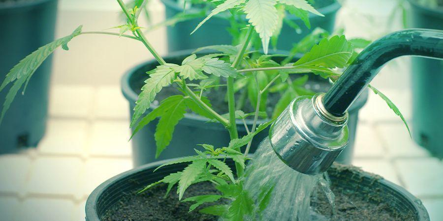 Regar Tus Plantas De Cannabis Puede Ser Bastante Exigente