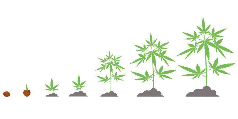 Cálculo De Tiempos Cannabis