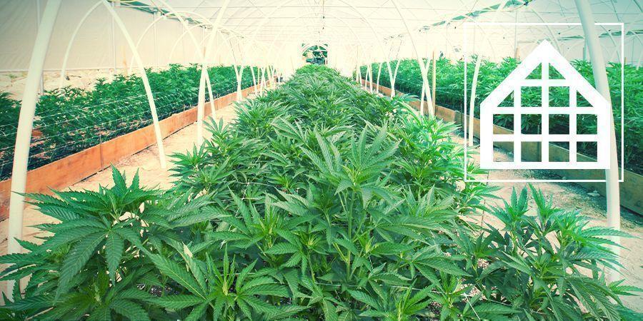 Cultivo Marihuana En Invernadero Y Conservatorio
