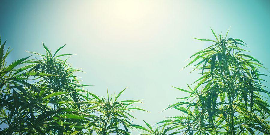 Tamaño De Las Plantas