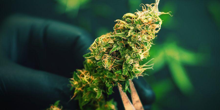 Cómo Cosechar Cannabis Cultivado En Guerrilla