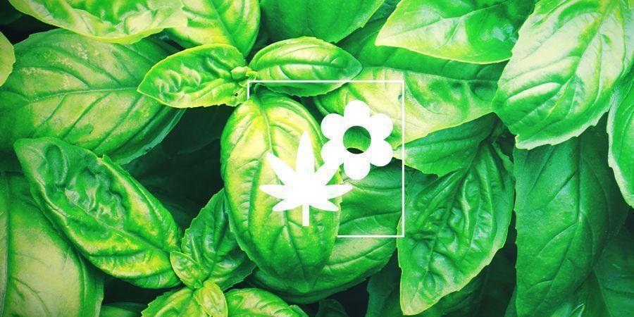 Asociación de cultivos para la marihuana: albahaca