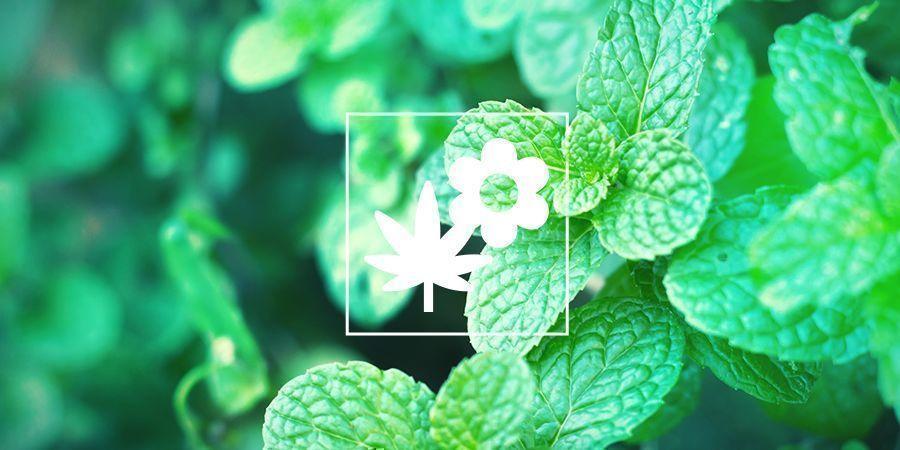 Mejora tu cultivo de marihuana con la asociación de cultivos: menta