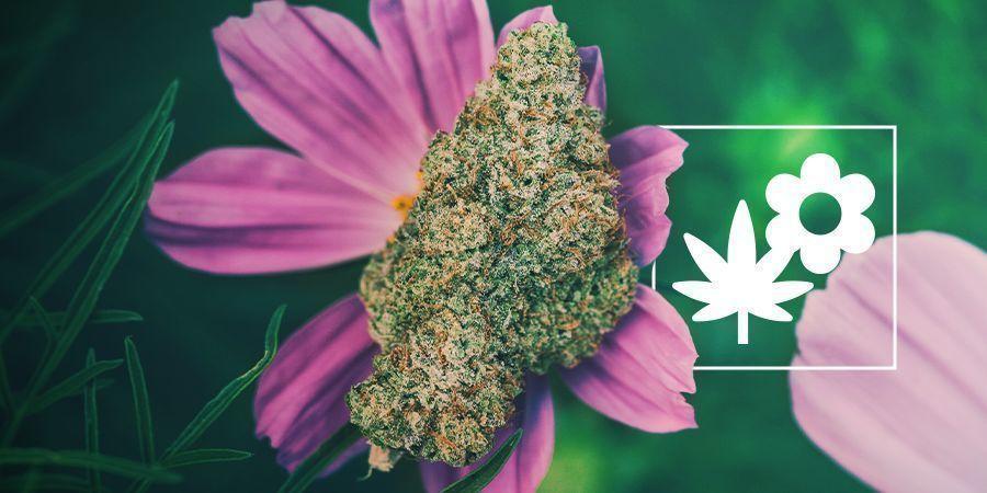 Cómo Mejorar Tu Cultivo De Marihuana Usando Plantas Asociadas